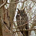 Great Horned Owl by Connor Beekman