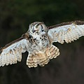 Great Horned Owl by CR  Courson