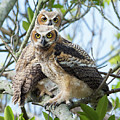 Great Horned Owl Fledglings by Mike Fitzgerald
