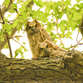 Great Horned Owl Fledglings by Robert Smice
