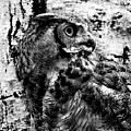 Great Horned Owl In Black And White by Tracy Winter