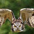 Great Horned Owl - In Flight by Sue Harper