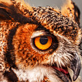 Great Horned Owl by Kathi Isserman
