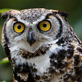 Great Horned Owl - Looking At You by Sue Harper