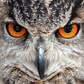 Great Horned Owl by Pierre Leclerc Photography