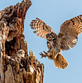 Great Horned Owl Returning To Her Nest by Dawn Key