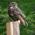 Great Horned Owl by Robert Meanor