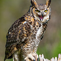 Great Horned Owl Screeching by CJ Park