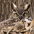 Great Horned Owl by Shelly OBrien