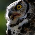 Great Horned Owl by Sue Harper