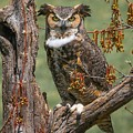 Great Horned Owl by Susan Grube
