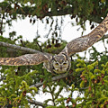 Great Horned Owl Takeoff by Max Waugh