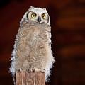 Great Horned Owlet by Rikk Flohr