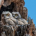 Great Horned Owlets by Dawn Key