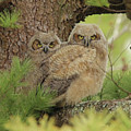 Great Horned Owlets by Laurie Pocher