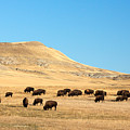 Great Plains Buffalo by Todd Klassy