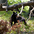 Great Smoky Mountain Bear by David Lee Thompson