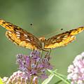 Great Spangled Fritillary Butterfly by Dianna Lofton