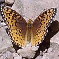Great Spangled Fritillary by Joshua Bales