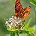 Great Spangled Fritillary On Bee Balm by David Rowe