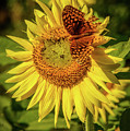 Great Spangled Fritillary On Sunflower by Charlie Choc