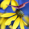 Great Spangled Fritillary On Yellow Coneflower by Susie Weaver