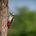 Great Spotted Woodpecker by Framing Places