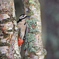 Great Spotted Woodpecker by Peter Walkden