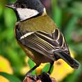 Great Tit British Bird Parus Major by Martyn Arnold