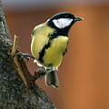 Great Tit  by Cliff Norton