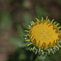 Great Valley Gumweed 2 by Rick Mosher