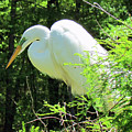 Great White Egret by Cynthia Guinn