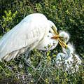 Great White Egret Family by Judi Dressler