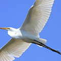 Great White Egret In Flight . 40d6850 by Wingsdomain Art and Photography