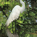 Great White Egret In Spring by Suzanne Gaff