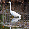 Great White Egret by James Marvin Phelps