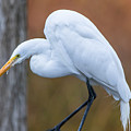 Great White Egret  by Marc Crumpler