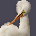 Great White Egret Posing by Paulette Thomas