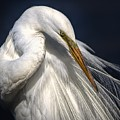 Great White Egret Print One by Paulette Thomas