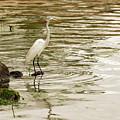Great White Egret by Sam Rino