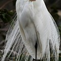 Great White Egret Windblown by Sabrina L Ryan
