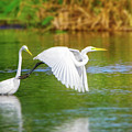 Great White Egrets by Mark Andrew Thomas