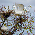 Great Egrets, Nest Building by TN Fairey