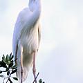 Great White Heron by Alan Lenk