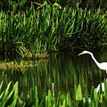 Great White Heron Green Cay Wetlands by Lawrence S Richardson Jr