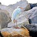 Great White Heron Of Florida by Sherri Hubby