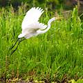 Great White Heron Takeoff by Jess Kraft