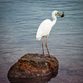 Great White Heron With Fish by Elena Elisseeva