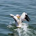 Great White Pelican In Flight by Hazel Wright