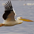 Great White Pelican In Flight by Quazi Ahmed Hussain